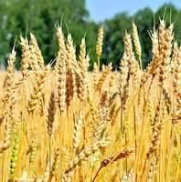 Пшеница: полезные свойства и применение