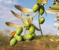 Олива - полезные свойства и применение